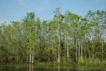 Cypress Swamps / Cypress trees and cypress swamps from around Florida and Georgia as photographed by Steve Hoffacker.