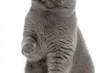 British shorthair cats