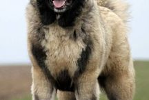 Caucasian mountain dogs