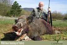 Wild Boar hunting in Turkey / Wild boar inhabits all but a few parts of Turkey. It is regarded to be a nuisance by the locals as they cause serious damage to cultivated land all over the country. Turkey is unsurpassed in terms of both population and trophy quality in Europe. As much as it is a rarity, tusks measuring up to 30 cm have been collected on several occasions. However, tusks up to 25 cm can realistically be expected, while the average size can be considered at around 21 cm.