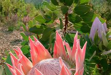Proteas and pincushions