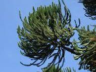 Araucaria angustifolia-Pinhão