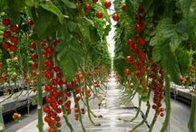 Suda domates yetiştirme
