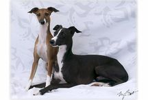 Italian Greyhounds / I have owned and bred Italian Greyhounds for approximately forty years.   They are such an elegant breed of dog. / by Christine Mackenzie