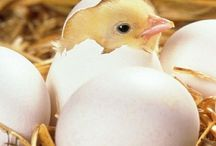 I need a baby chicken/ duckling