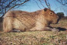 Argentina Native Fauna