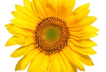 Helianthus Annuus aka Sunflower / All about the Sunflower / by Gadget Trish