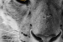 Snowleopard tattoo