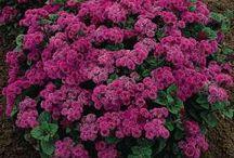 floríferas anuais