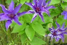 Trädgård - klängväxter
