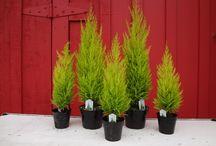 Plant Focus - Wilmas