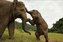 Elephants / Elephants