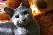 Eglantine / Ruská modrá kočka