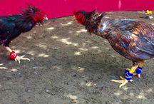 Gmbelelite Cockfighting Breeder / import,bangkok,thailand.bandaaceh,indonesia