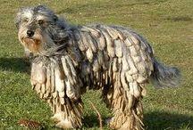 PASTORES-Pastor Bergamasco / El Bergamasco es una raza de perro originaria de los Alpes italianos. Es un perro mediano, de aspecto rústico y pelaje largo y abundante que forma mechones característicos. Tiene un carácter excepcional y es un gran perro, tanto para pastoreo como para compañía.  Estos perros son inteligentes, atentos y pacientes. Tienen un temperamento estable y gran concentración, por lo que son excelentes perros para múltiples funciones y especialmente para conducir y cuidar rebaños.