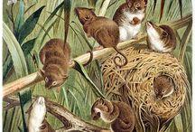 Wild animals engravings & illustrations