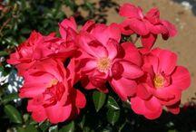 Landscape Roses