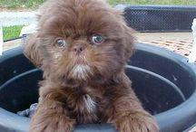 Shih Tzu / Puppys