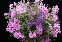 Bunte Blumenampeln / Blumenampeln setzen tolle Farbakzente auf dem Balkon, der Terrasse oder im Garten. Geranien, Fuchsien und Petuinien eignen sich perfekt für eine tolle Balkondeko.