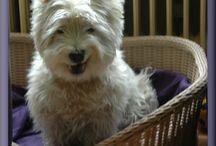 Onze huisdieren / 2 katers en een West Highland White Terriër