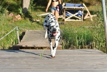 Hugo / Pictures on my lovely dalmatian Hugo. / by Maria Skotte