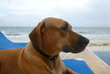 Our Rhodesian Ridgebacks / Since the beginning of Casa del Secreto and Hacienda del Secreto, our dogs have been by our sides. And, everyone just can't seem to get enough of their spirits and enthusiasm for our beach life:)