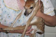 Fawn // doe deer
