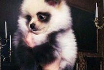 Pomeranian <3