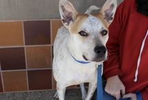 Max / Max AH711 is an affectionate, playful mush of a dog waiting here at our adoption center for his perfect family. This Australian cattle dog mix is waiting to meet you!