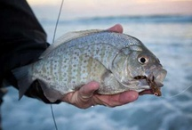 SURF PERCH / Surf perch on the fly.  Fly fishing for surf perch.