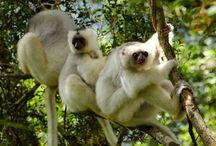 Madagascar: Island of lemur / Lemurs are strepsirrhine primates, all species of which are endemic to Madagascar.