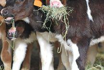 Hayvancılık & Livestock