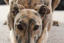 Greyhounds / Pictures of Dogs I Love