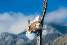 Aquila reale Bald Eagle