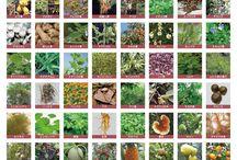 薬草 / 健康増進、美容効果のある薬草