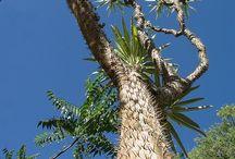 la forêt de Réniala à Ifaty Mangily Madagascar / RENIALA est une réserve privée située dans la forêt de Baobabs du Sud-Ouest de MADAGASCAR à Mangily Ifaty à 27 km de Tuléar,à 5 minutes de l'hôtel IKOTEL. Cette zone de 60 ha présente une richesse floristique et faunistique exceptionnelles avec plus de 1000 espèces végétales endémiques aux adaptations xérophytiques (au climat sec)remarquables, de nombreux oiseaux endémiques dont Uratelornis et Monias, des reptiles,des tortues : Astrochélys, Pyxis, lézards, serpents, des microcèbes…