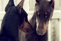 Dobermans / All About Dobermans. / by Dublin Dog Co.