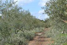 Taille des oliviers et désherbage