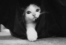 Cat Meoww
