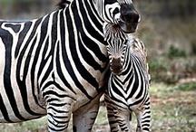 Animals: Zebras