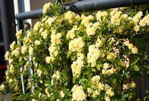 Meraner roses