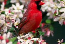 For the Love of Cardinals