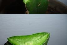 Kaktüs