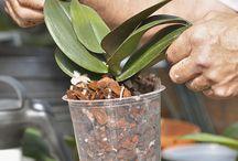 rempoter une orchidée