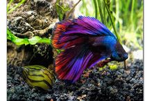 Beautiful Betta Fish!