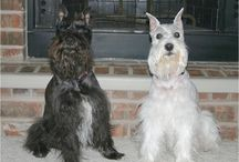 Schnauzers...cause I love them  / by Noreen Stroze