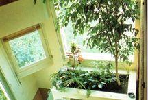 Ficus Benjamina, a sokoldalú / Örökzöld fényes levelek borítják a sörön álló ágakat. Elviseli a kevés fényt. Növekedési időszakban az új hajtásokat várjuk vissza két-három levélre. Egész évben drótozható. Szobában tartható egész évben.