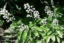 pteridophyllum