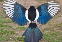 Magpies and Jay loves