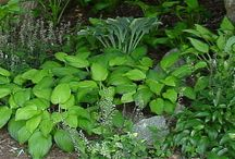 Hosta Sounds Like Pasta!